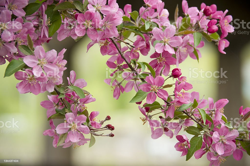 Blossoming Tree Flowers royalty-free stock photo