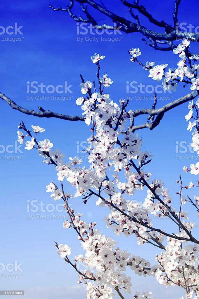 Blossoming tree in April day of spring royalty-free stock photo
