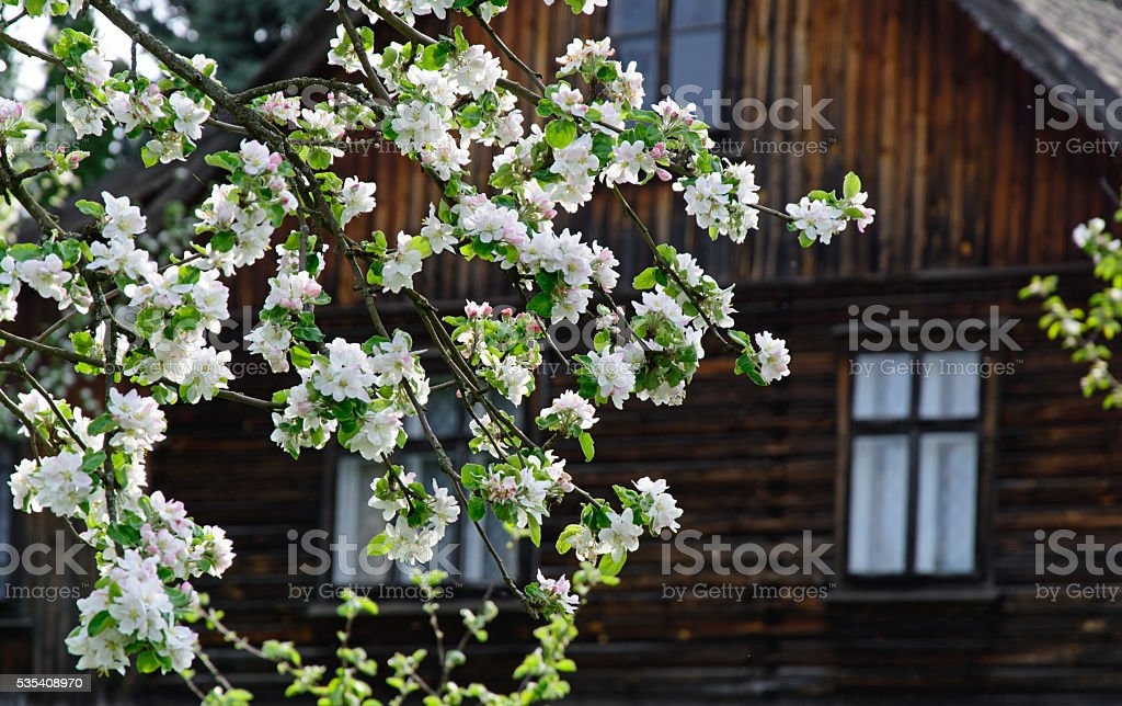 blossoming tree near the house stock photo