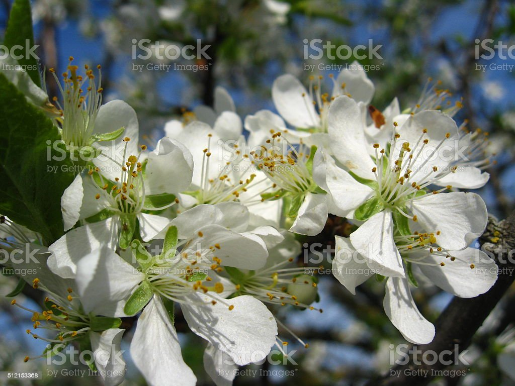 Blossoming tree of plum stock photo