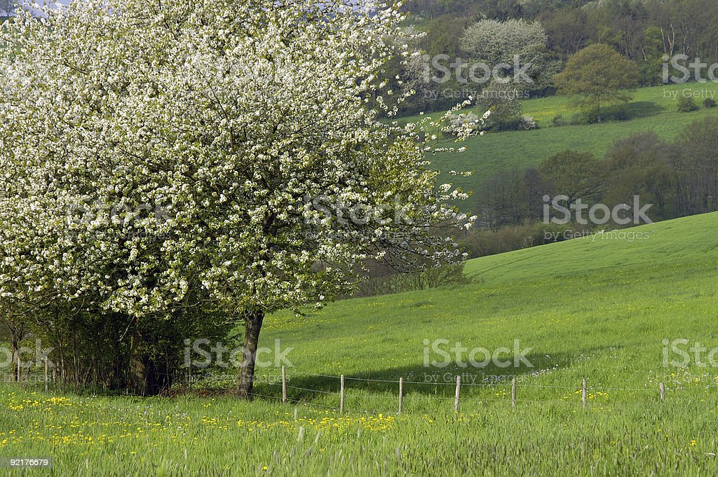 Blossoming tree on a spring meadow royalty-free stock photo