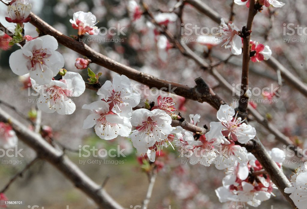 Blossoming tree royalty-free stock photo