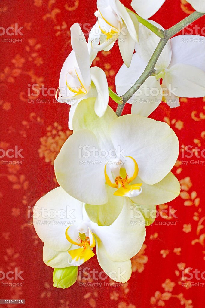 blossoming white orchid on the red background stock photo