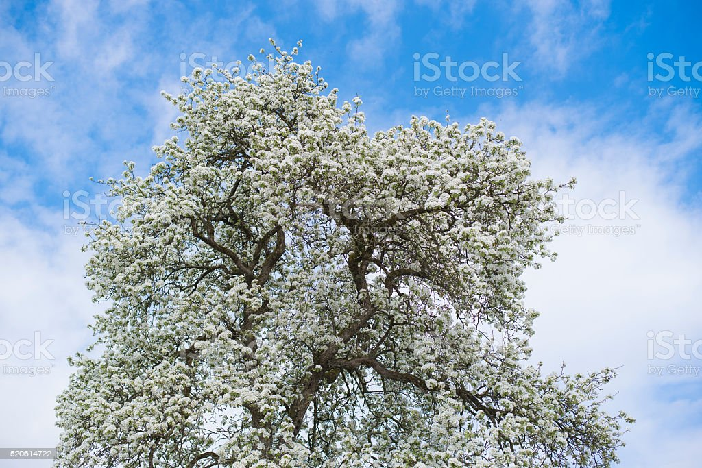 Blossoming white tree top stock photo