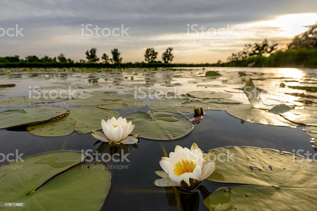 Blossoming white water lilly during sunset in a nature reserve stock photo