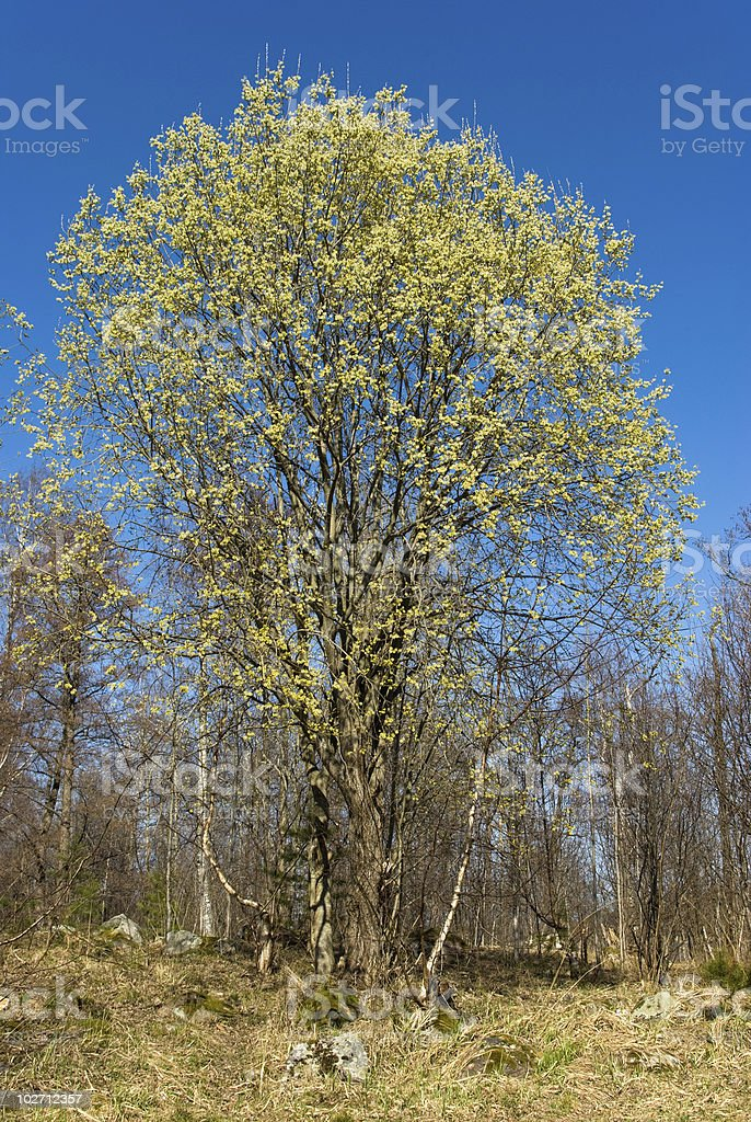 Blossoming willow tree royalty-free stock photo