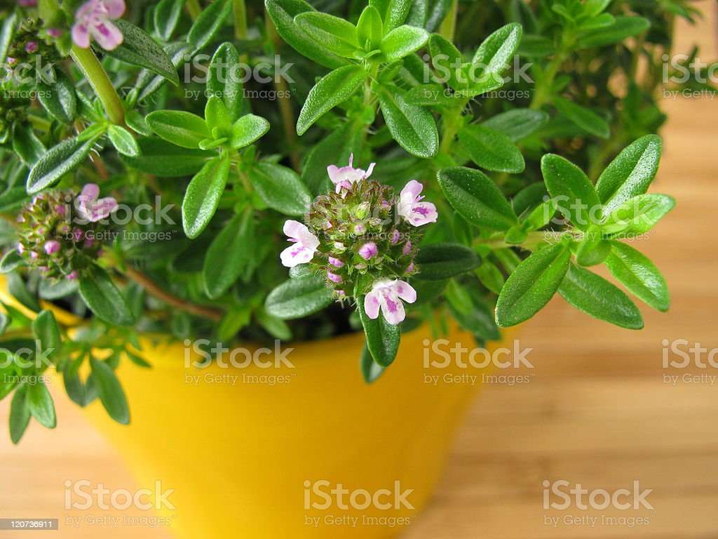 Blossoming winter savory in flowerpot stock photo