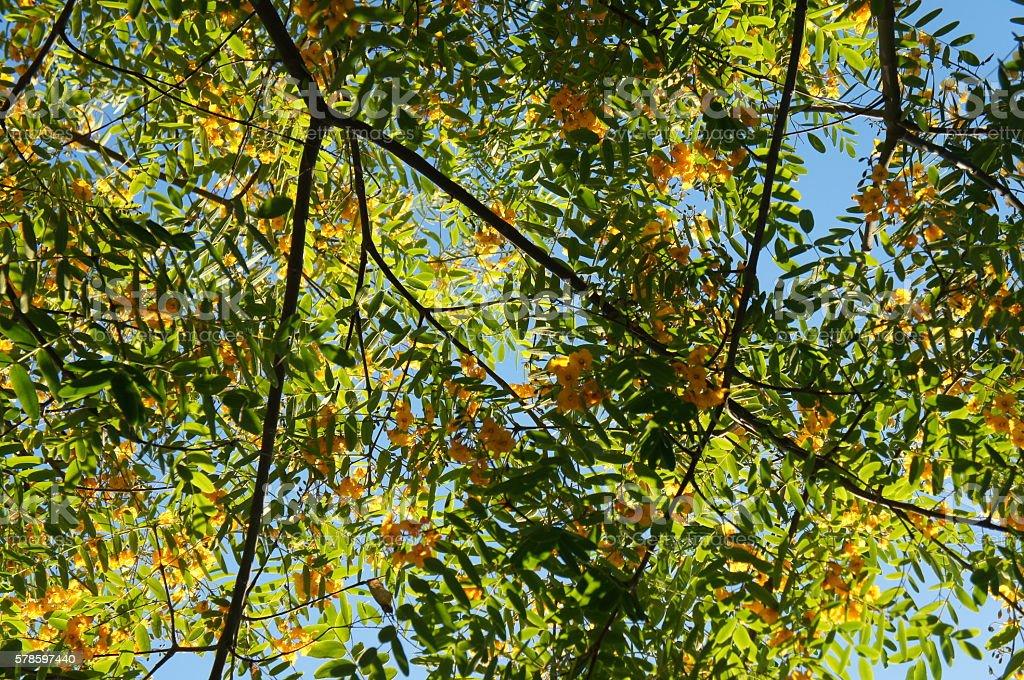 Blossoming yellow  acacia or caragana tree stock photo