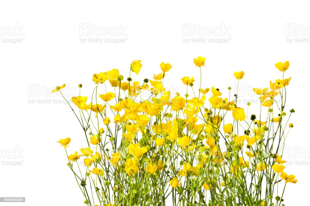Blossoming yellow buttercups isolated on a white background. stock photo