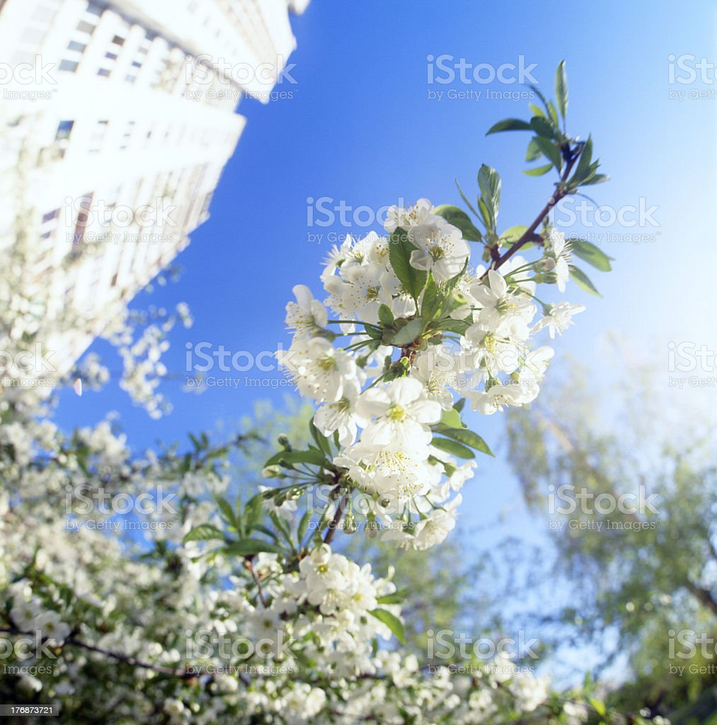 Blossoms against blue sky. royalty-free stock photo