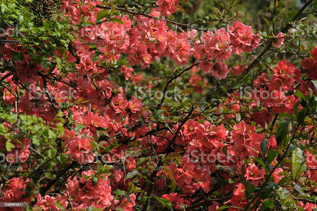 blossoms of a red quince stock photo