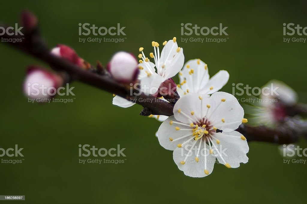 Blossoms of an Apricot Tree royalty-free stock photo