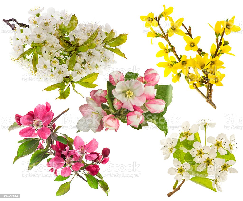 Blossoms of apple and pear tree, cherry twig. Spring flowers stock photo