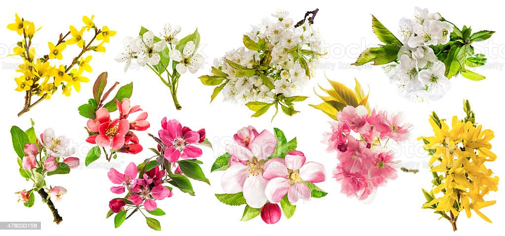 Blossoms of apple tree, cherry twig, pear, forsythia. stock photo