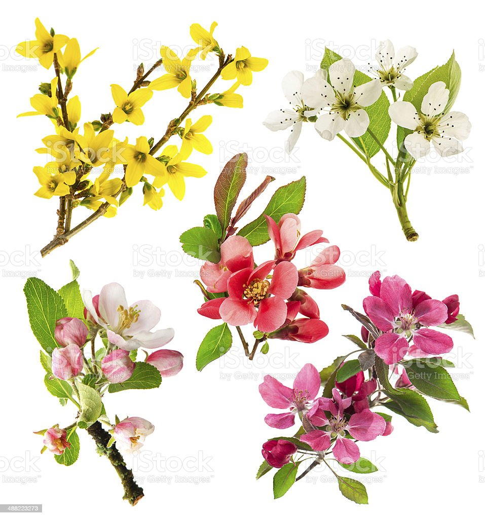 blossoms of apple tree, cherry twig, pear, forsythia stock photo