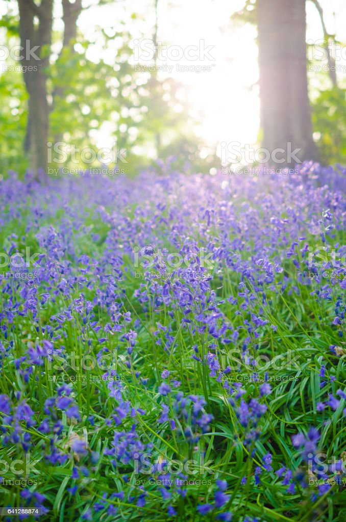 Blossoms of blue bluebells in a forest arranged as nature background with copy space stock photo