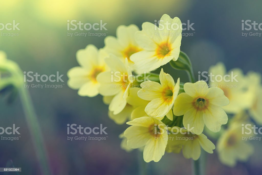 blossoms of common cowslip flowers in vintage style stock photo
