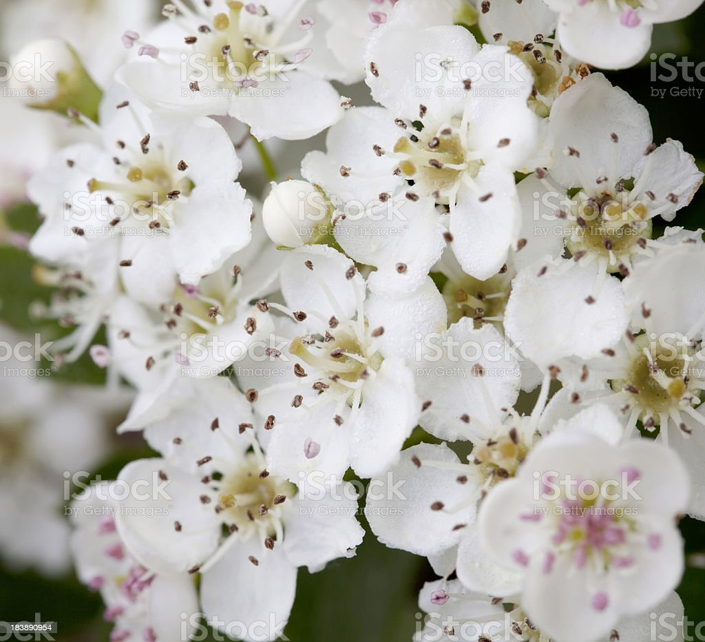 Blossoms of Hawthorn (Crataegus monogyna) or May Blossom stock photo