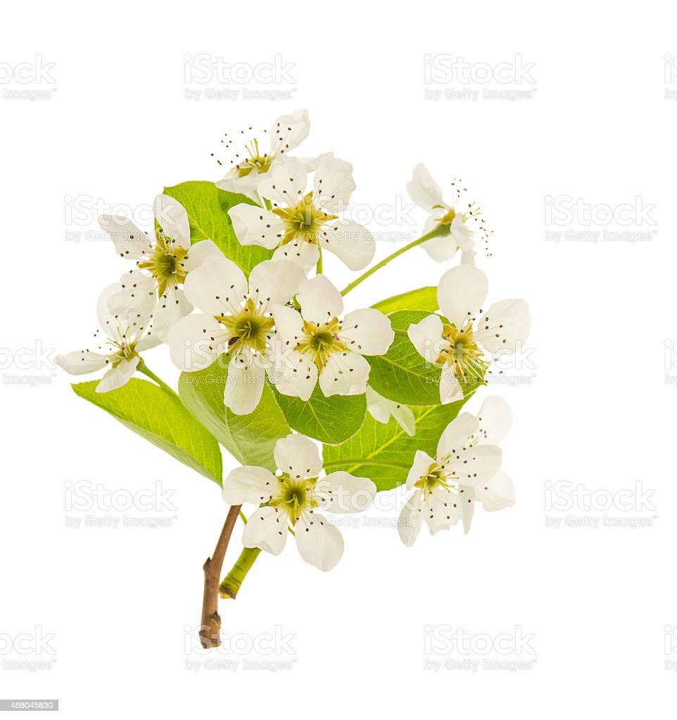 Blossoms of pear tree. Spring flowers isolated on white stock photo