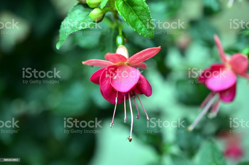 blossoms of pink fuchsia with drops after rainfall stock photo