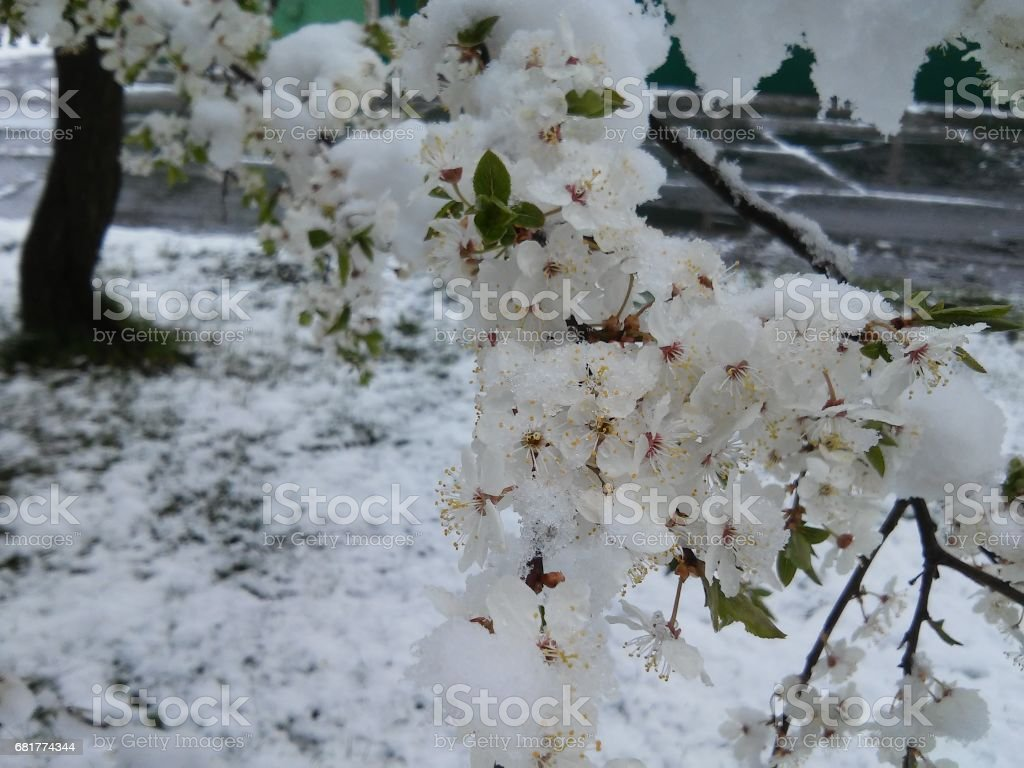 Blossoms of plum tree with snow stock photo