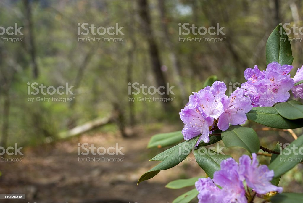 Blossoms on Appalachian Trail in Tennessee stock photo