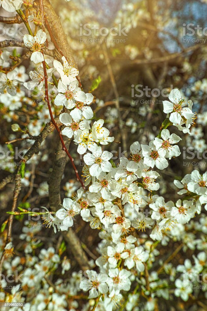 Blossoms on fruit tree royalty-free stock photo
