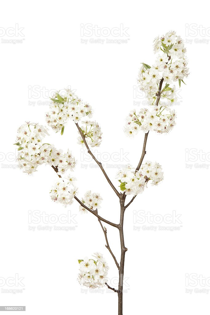 Blossoms on Pear Tree stock photo