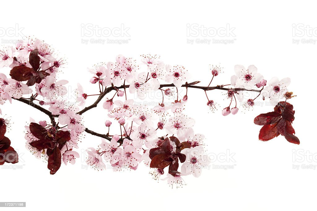 Blossoms on white background royalty-free stock photo
