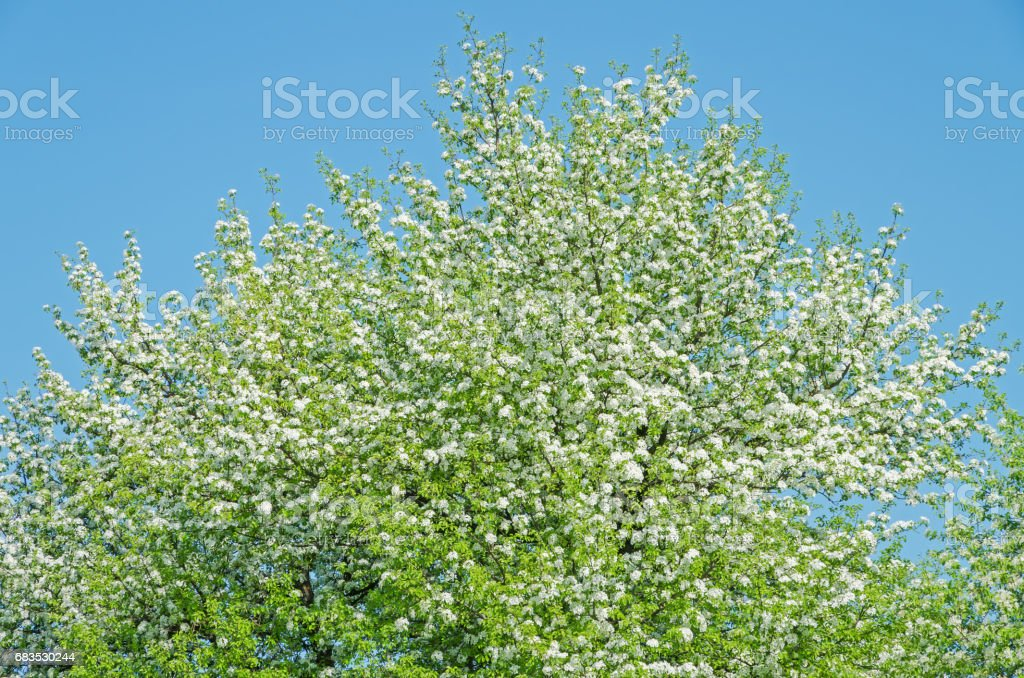 Blossoms pear stock photo