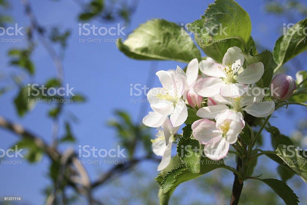 Blossoms stock photo