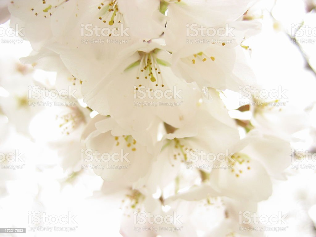 Blossoms, White royalty-free stock photo