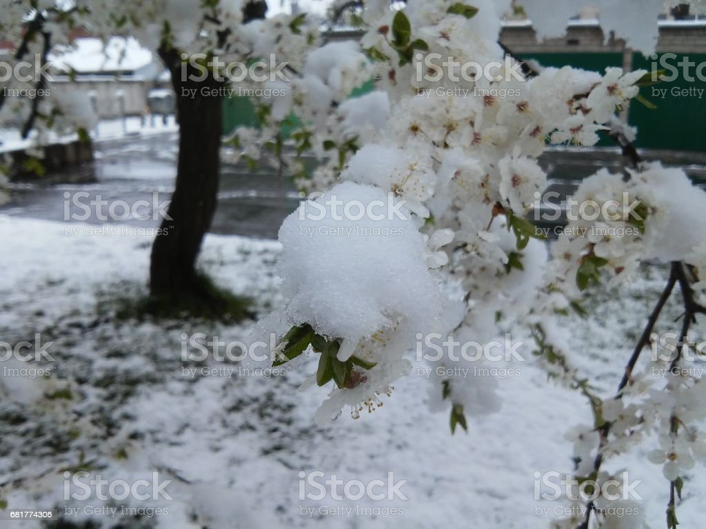 Blossoms with snow stock photo