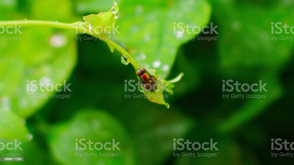 blow fly and dew drop stock photo