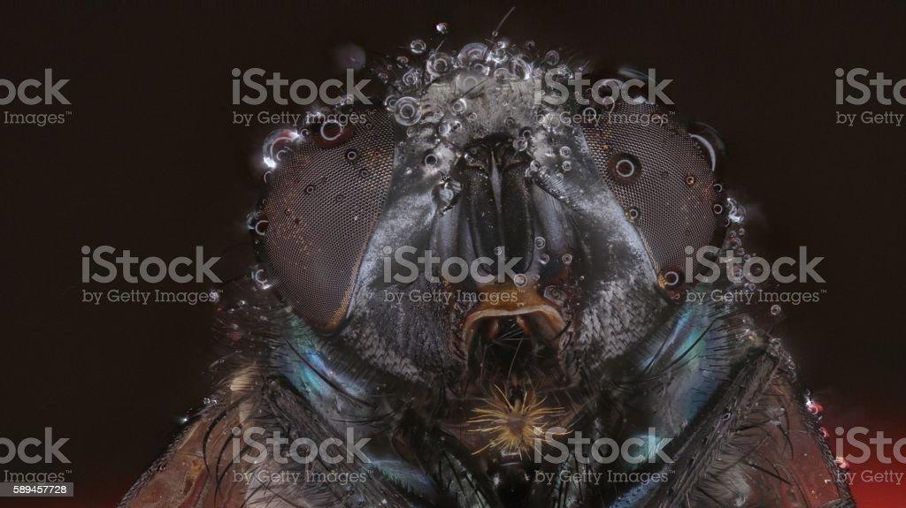 Blow fly head stock photo
