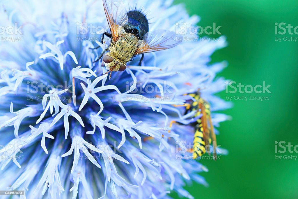 Blow fly Lucilia and Wasp  On A Thistle Flower stock photo