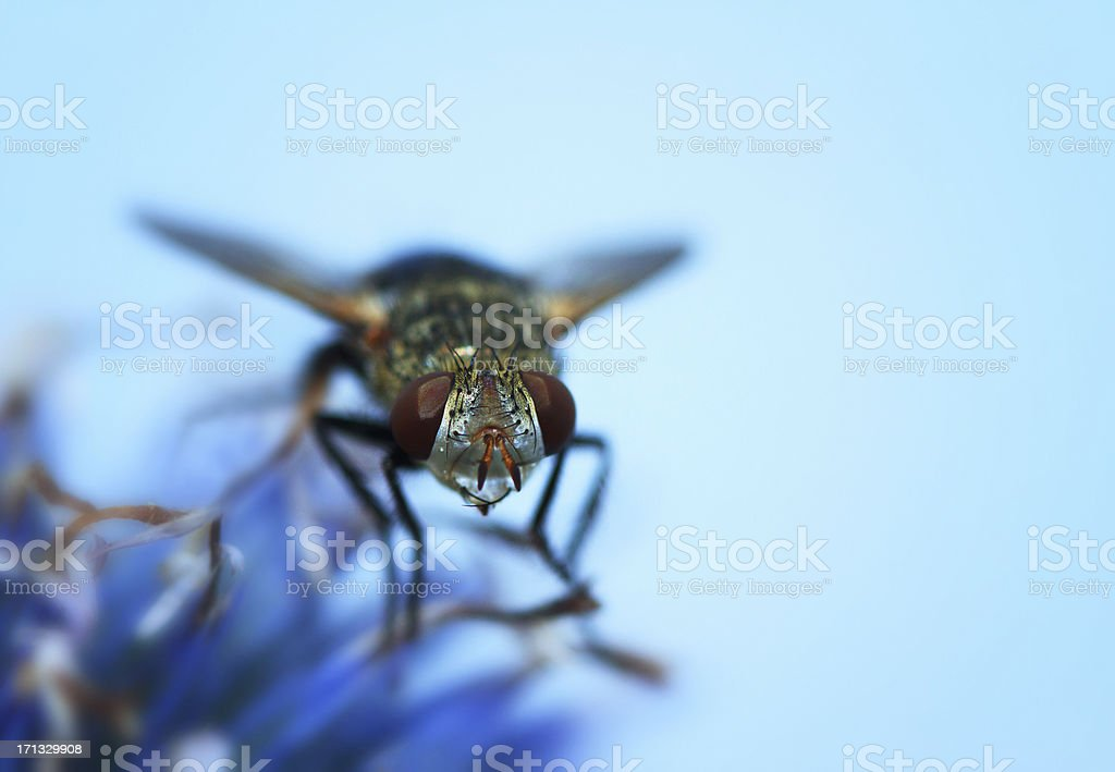 Blow fly Lucilia On A Thistle Flower stock photo