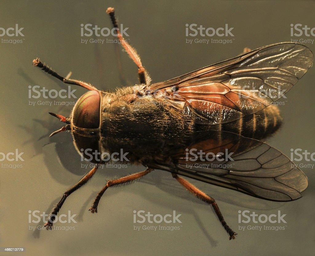 Blow fly macro royalty-free stock photo