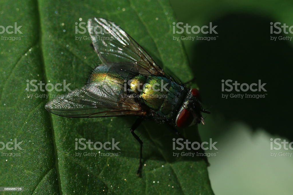 Blow fly on a leaf stock photo