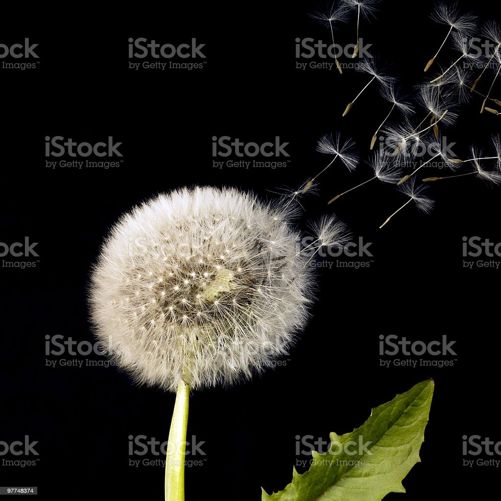 blowball and flying dandelion seeds royalty-free stock photo