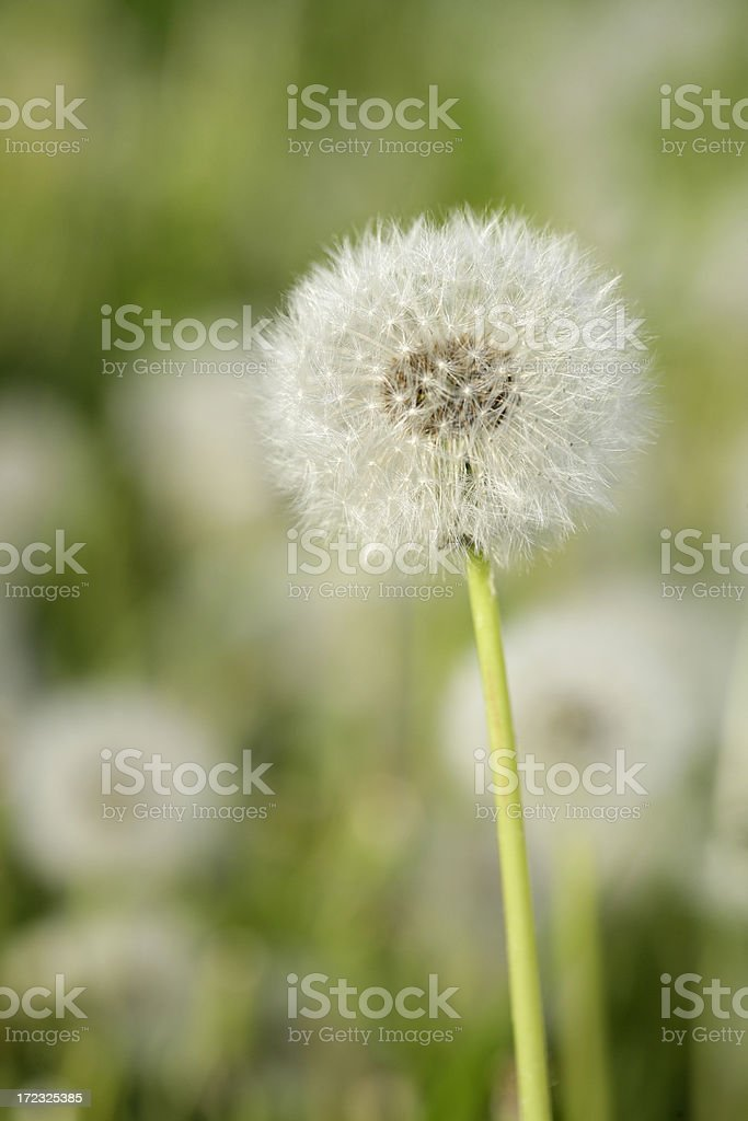Blowball close-up royalty-free stock photo