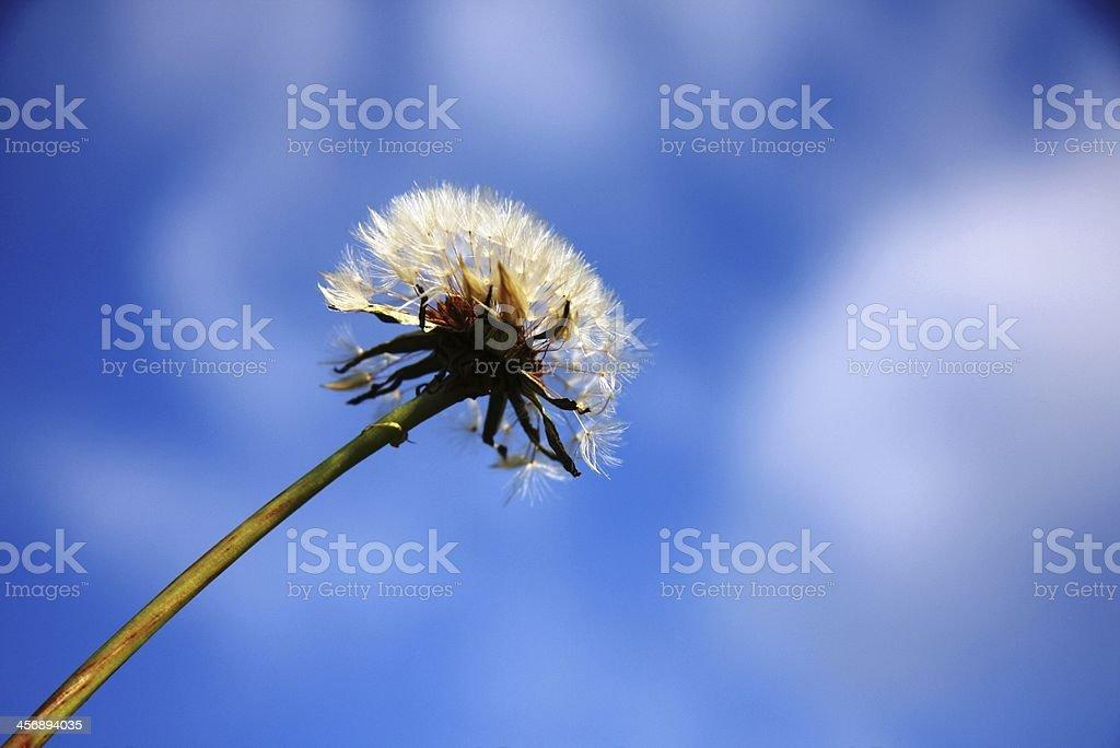 blowball stock photo