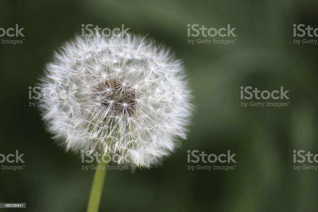 Blowball royalty-free stock photo
