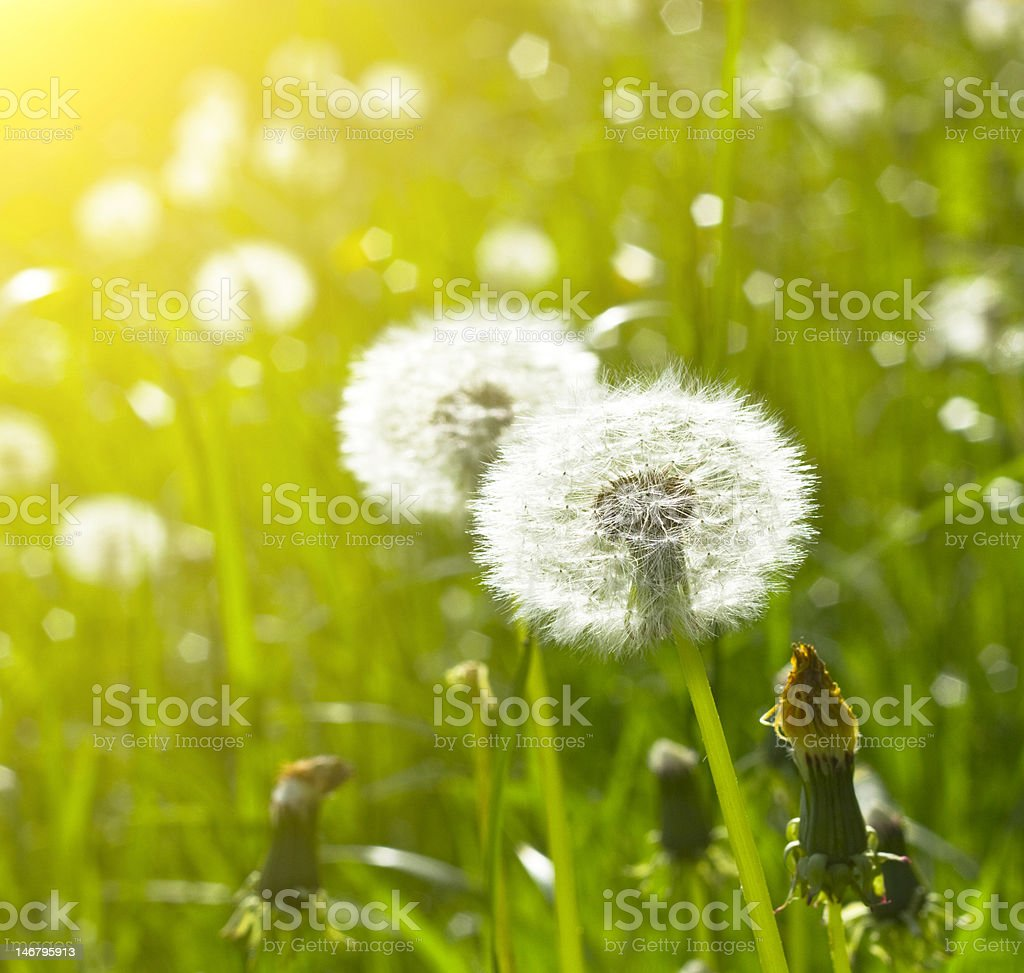 blowballs on meadow royalty-free stock photo