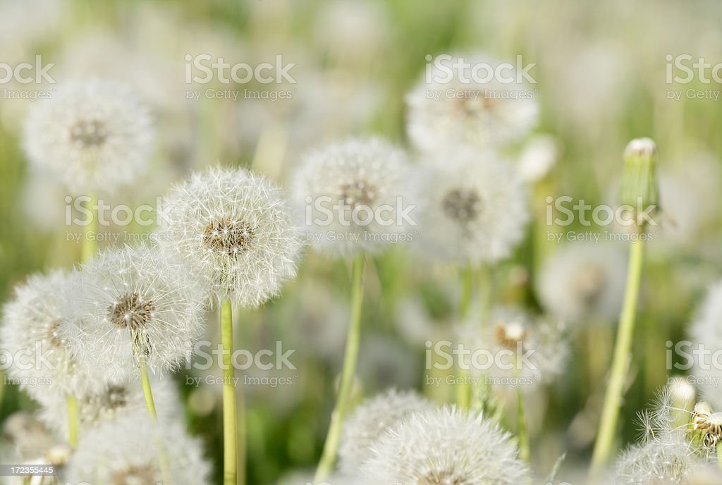 Blowballs royalty-free stock photo