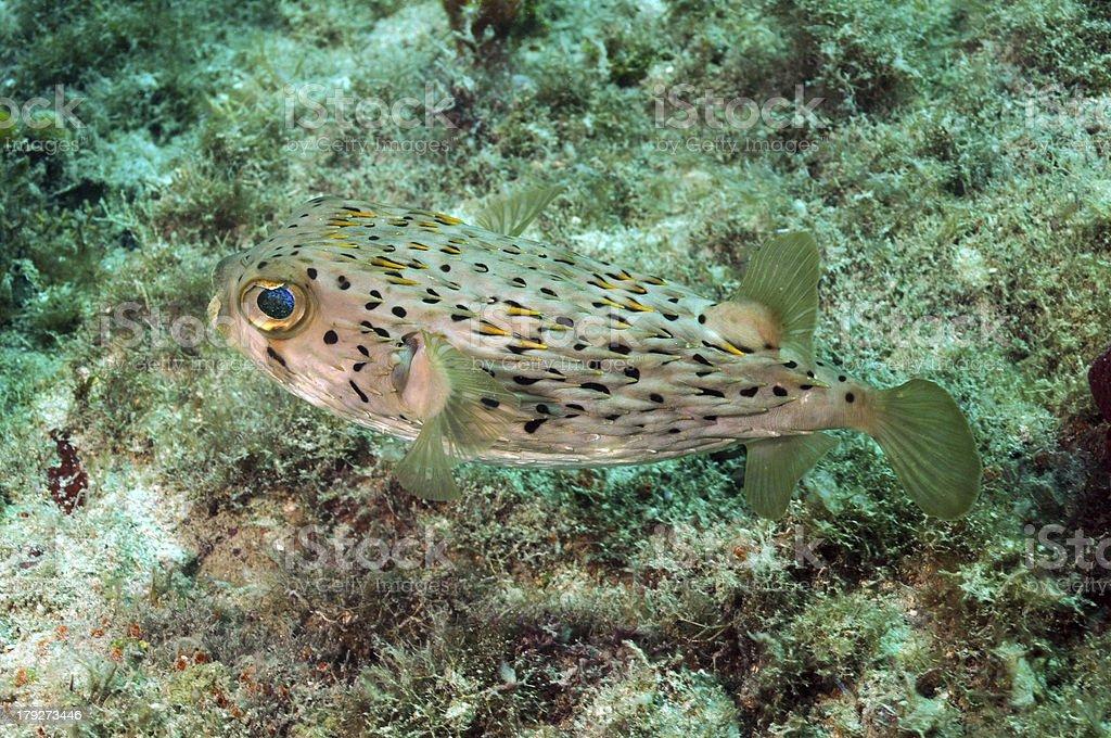 Blowfish in ocean royalty-free stock photo