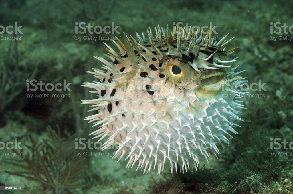 Blowfish or puffer fish in ocean stock photo