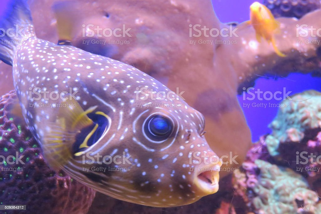 blowfish stock photo