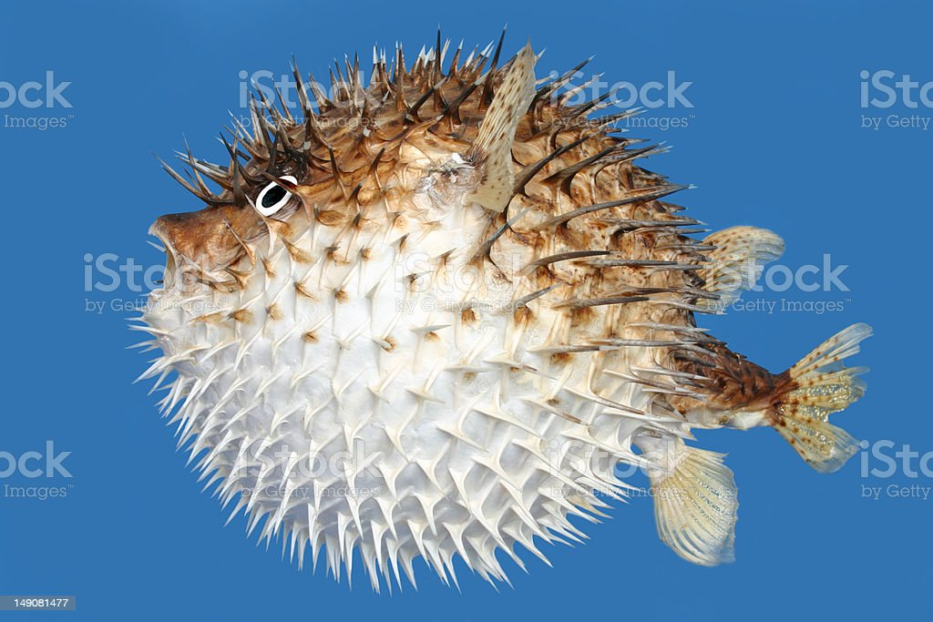Blowfish side view stock photo