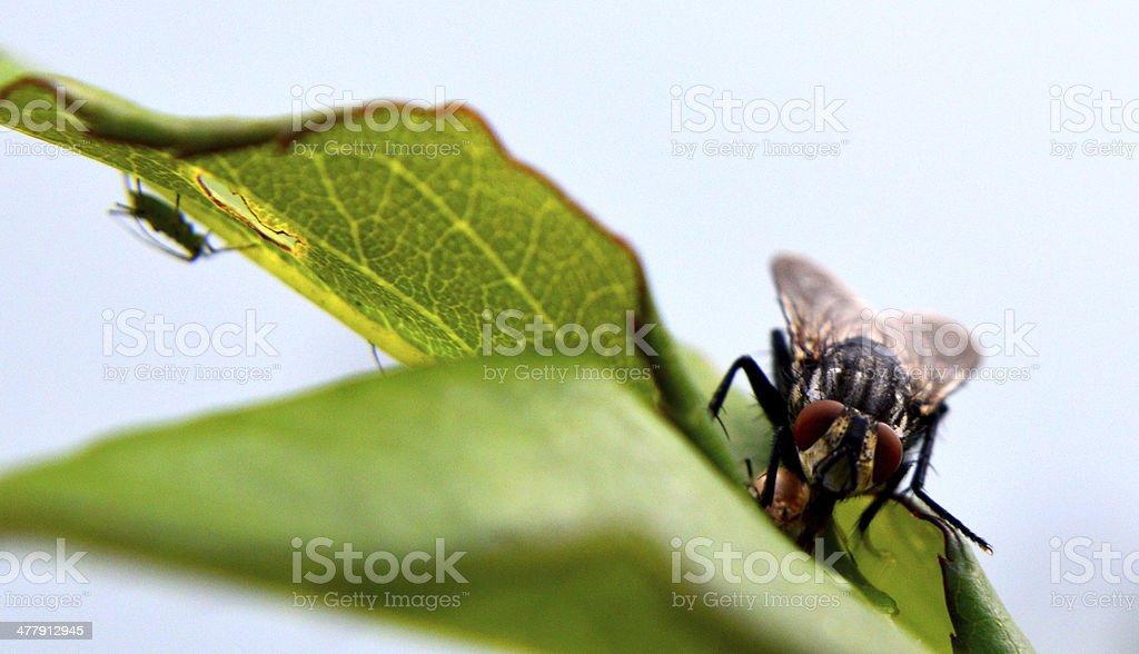Blowfly royalty-free stock photo